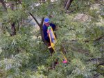Pete Clutterbuck retieves his model high up in a tree